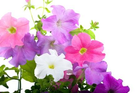 violeta: Bouquet de petunias aislado en un fondo blanco