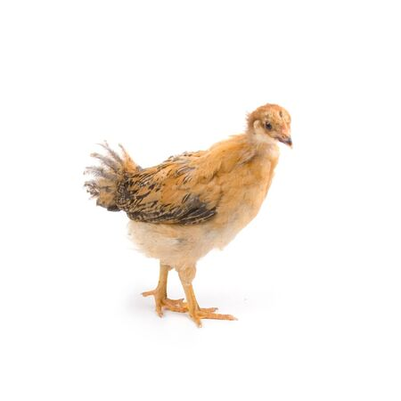 Brown young chicken on a white background