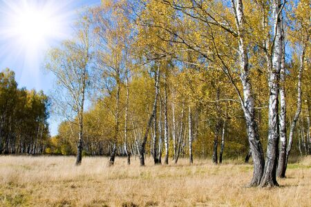 Beautiful autumn landscape on a sunny day, a birch forest