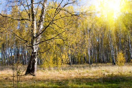 Beautiful autumn landscape on a sunny day, a birch forest photo