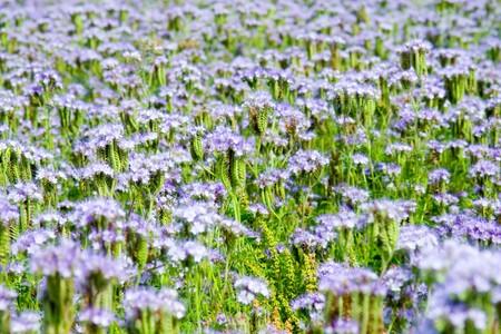 Blue flowers (Phacelia tanacetifolia) Stock Photo