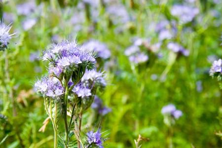 Blue flowers (Phacelia tanacetifolia) against the green grass