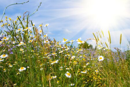 White daisies on a background of blue sky and sun