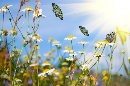 Field with daisies and butterflies on a background of blue sky