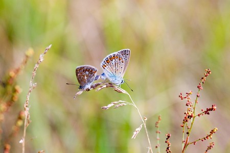 Common Blue - Polyommatus icarus Pair mating Stock Photo - 7760408