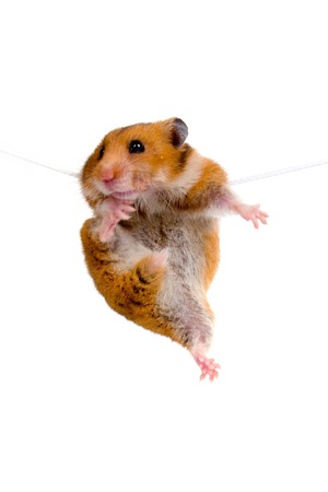 Hamster hanging on a rope on a white background Stock Photo