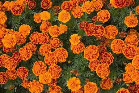 background of orange flowers