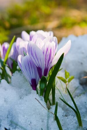 crocus: Flowers purple crocus in the snow, spring landscape