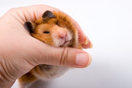 Hamster in hand  on a white background