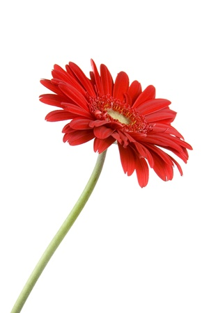 white with daisies: Red gerbera  isolated  on white background