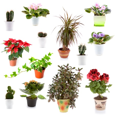 cordyline: Set of potted plants on a white background