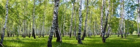 summer birch forest landscape panorama Stock Photo