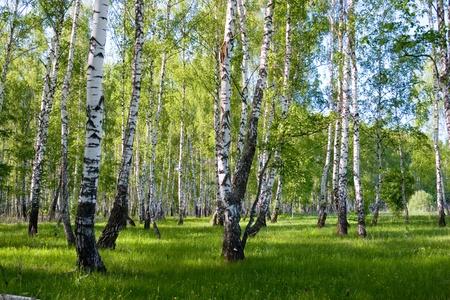 zomer berken bos landschap Stockfoto