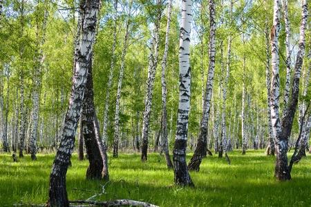 foret de bouleaux: bouleau d'�t� paysage forestier vue Banque d'images