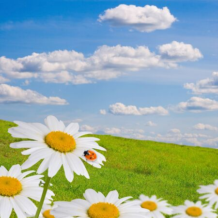 Field with daisies on a background of blue sky