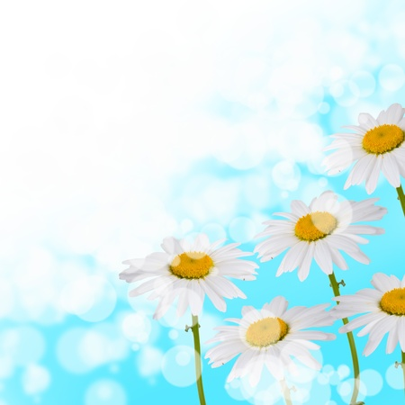 Beautiful daisies on a blue and white background photo