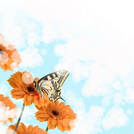 Orange gerberas and butterfly (Swallowtail) on a blue blurred background