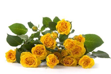 Beautiful yellow roses isolated on white background