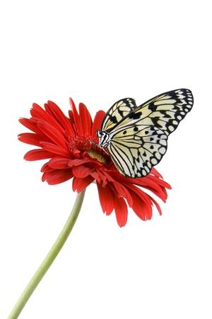 mariposa verde: De mariposas tropicales en una flor aislada sobre un fondo blanco Foto de archivo