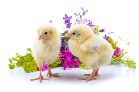 Chickens on the background of flowers on a white background