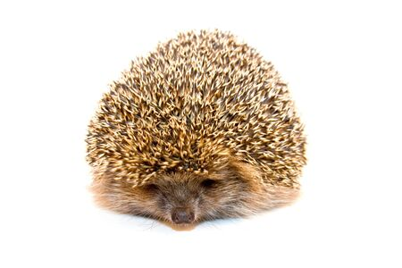 Hedgehog isolated on a white background  photo