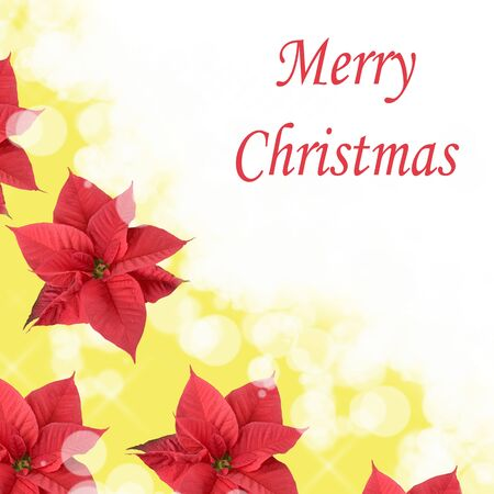 Christmas background in red poinsettia in a diffuse yellow background photo