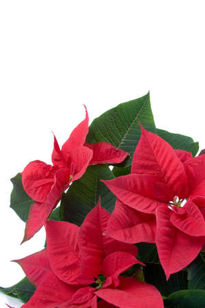 flor de pascua: Roja flor de pascua aislados en un fondo blanco