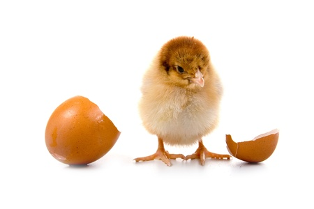 chick: Brown chicken isolated on a white background