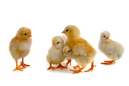 baby chick: Chickens isolated on a white background