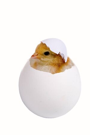 Chicken in a shell on a head isolated on a white background  Stock Photo - 12362684