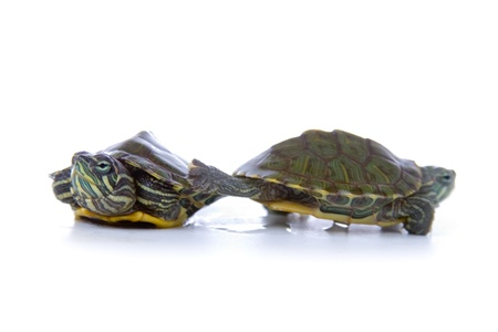 Two red ear tortoises isolated on white  photo