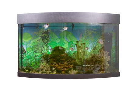 Tropical freshwater aquarium with colorful fish and green plants,  isolated on a white background  Фото со стока