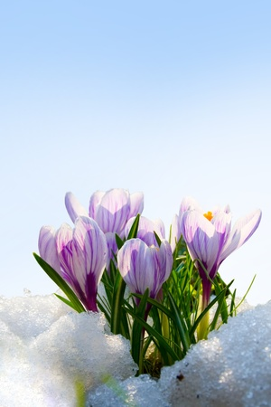 Flowers purple crocus in the snow, spring landscape Фото со стока