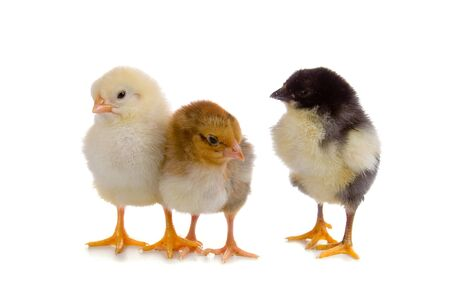 Yellow, brown and black chickens isolated on a white background  photo