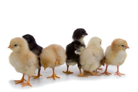 Kippen geïsoleerd op een witte achtergrond