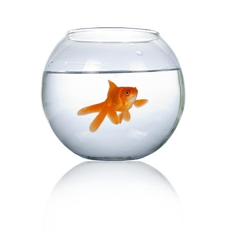 peces de colores: Goldfish en un acuario aislado sobre fondo blanco Foto de archivo
