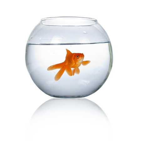 złota rybka: Goldfish w akwarium na białym tle