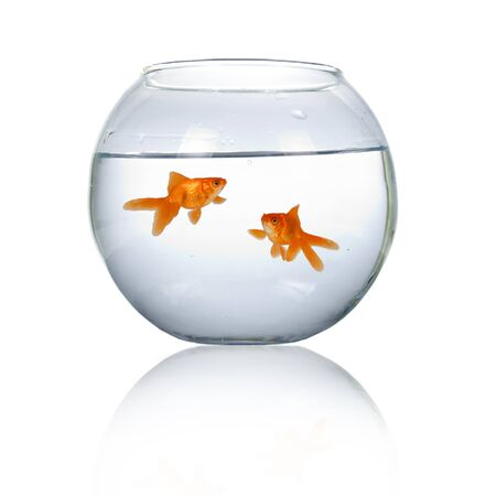 Two goldfish in an aquarium isolated on white background
