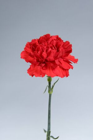 Red carnation on a gradient background photo