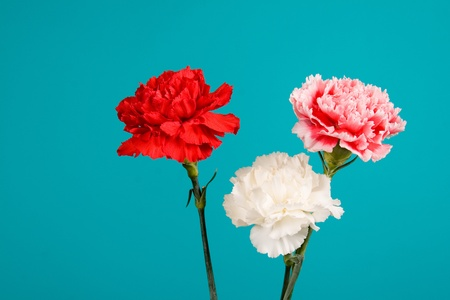 Bouquet of carnations on a gradient background photo