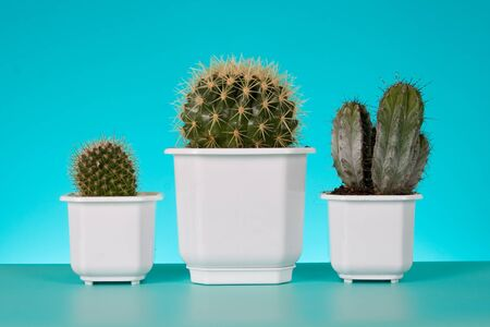 Cactus  in  pots on a green background  photo