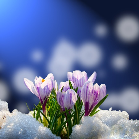 Blooming crocuses in the snow on a blue abstract background Stockfoto