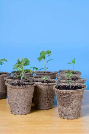 Peat pots and seedlings on a table on a blue background photo