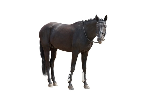 Black horse, isolated on a white background