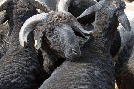 Black sheep in a paddock Stock Photo - 13805965