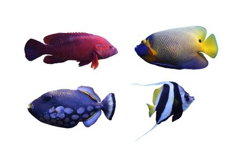 トリガー: 白い背景の上の魚 (ピエロ トリガー、ツノダシ、タテジマキンチャクダイ) のグループ