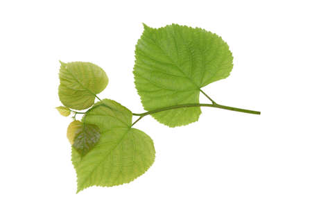 Linden leaves isolated on a white background photo