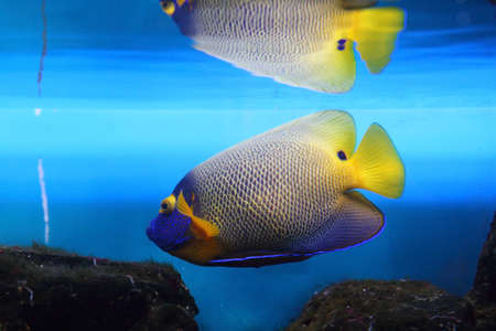 Emperor Angelfish near a coral reef photo