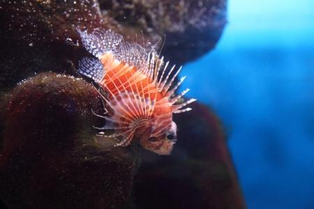 bannerfish: Tropical fish, zebra impeller(Pterois volitans) in a marine aquarium