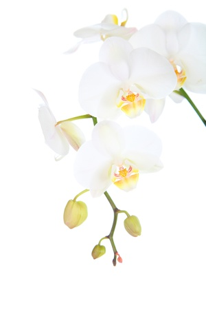 orchids: Bianco orchidea isolato su uno sfondo bianco Archivio Fotografico